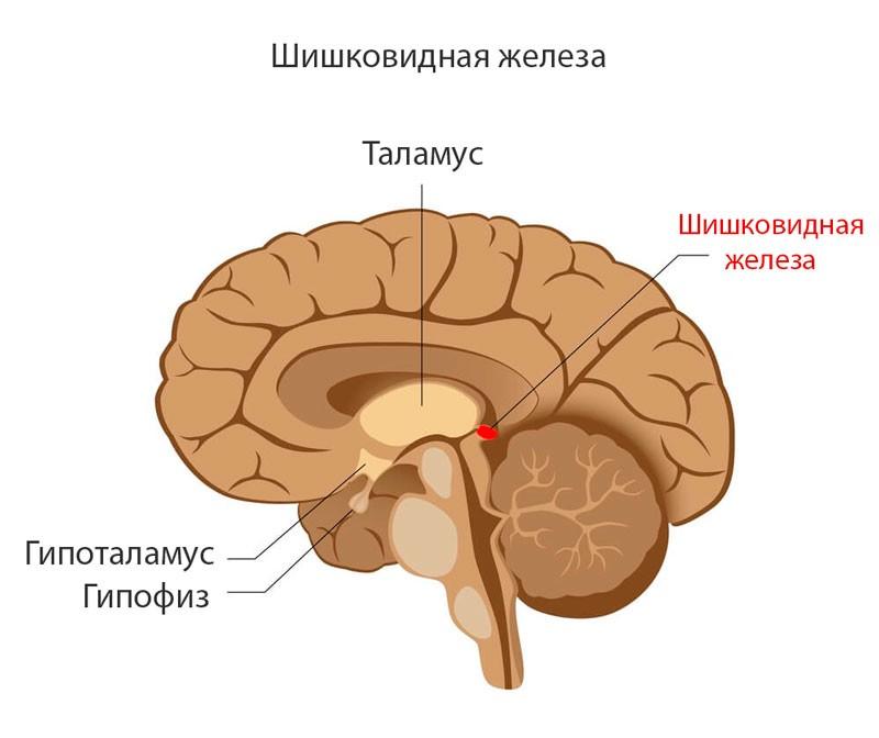 Это происходит в шишковидной железе под действием ферментов из незаменимой аминокислоты триптофана (она поступает в организм с пищей).