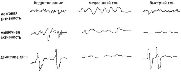 В процессе отдыха мозг повторяет цикл длиной в 90 минут, в котором медленная и быстрая фазы чередуются. В первых трех циклах содержится по 4 стадии медленноволнового периода, которые погружают в сон, и по 1 быстрой фазе, характеризующейся полусном. Затем количество стадий медленной фазы сокращается, как и ее длительность, а быстроволновый период преобладает до самого утра.
